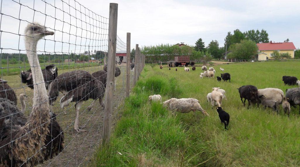 страусиная ферма Laurilan Strutsitila