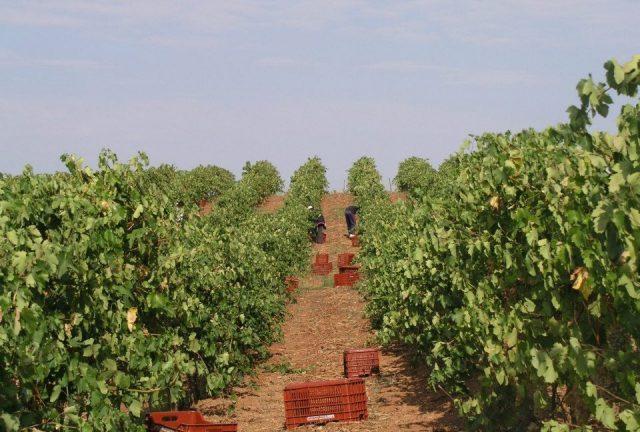 виноградник Kamara Winery